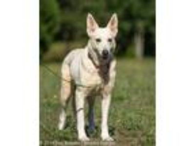Adopt Whitney a German Shepherd Dog