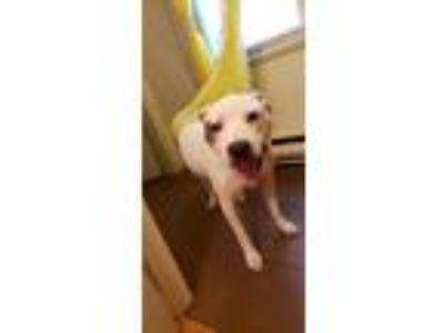 Adopt Nana a White - with Brown or Chocolate American Pit Bull Terrier / Mixed