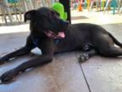 Adopt Tank a Black Labrador Retriever / Pit Bull Terrier dog in Bowmansville