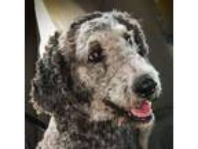 Adopt LILY a Standard Poodle