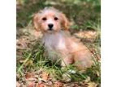 Adopt PRARIE a White - with Tan, Yellow or Fawn Terrier (Unknown Type