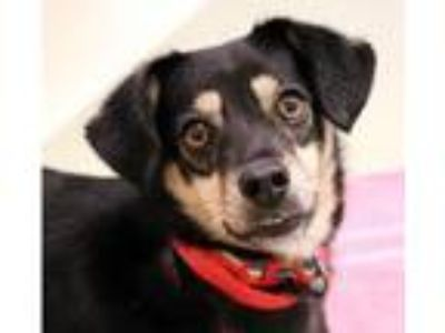 Adopt Freesia a Black - with Brown, Red, Golden, Orange or Chestnut Beagle /