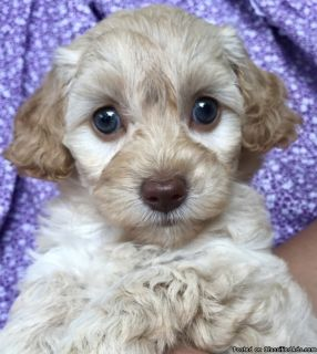 Akc Goldendoodle puppies