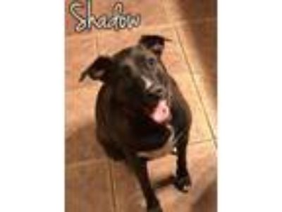 Adopt Shadow a Border Collie, Labrador Retriever