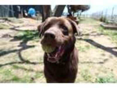 Adopt GAGE a Brown/Chocolate Labrador Retriever / Mixed dog in San Martin