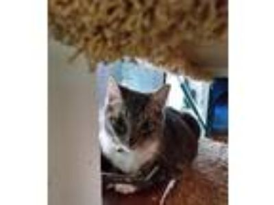 Adopt Bootsie a Gray or Blue (Mostly) Domestic Shorthair / Mixed cat in Palm