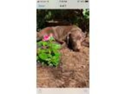 Adopt Cocoa a German Shorthaired Pointer, Beagle