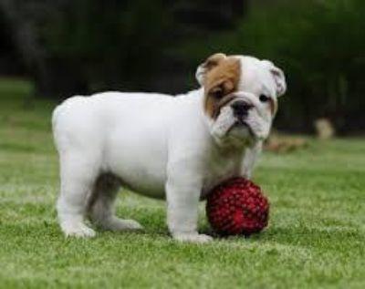 little treasure fullbreed breed english bulldog