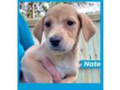 Adopt Nate Golden Boy a Labrador Retriever