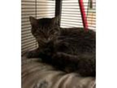 Adopt Milton a Domestic Short Hair