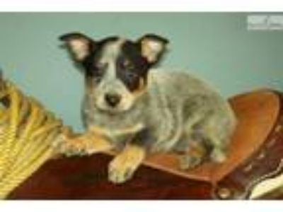 blue Queensland Heeler female