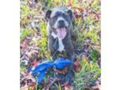 Adopt Wesley a Brindle Boxer / Mixed dog in Tampa, FL (21295659)