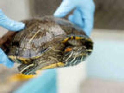 Adopt a Turtle - Water / Mixed reptile, amphibian, and/or fish in Baldwin Park