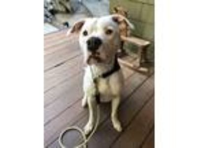 Adopt Chuck a White Pit Bull Terrier / Mixed dog in Idyllwild, CA (25623626)