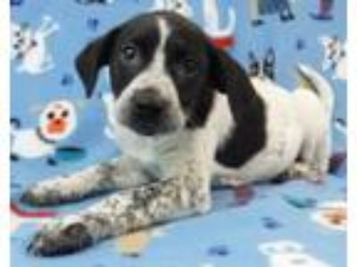 Adopt Valen a German Shorthaired Pointer