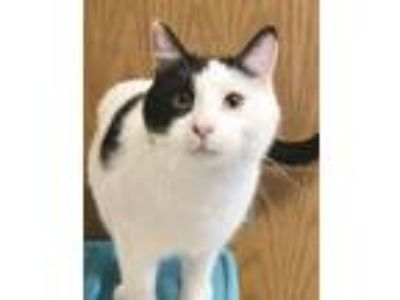 Adopt Snoopy a Domestic Short Hair