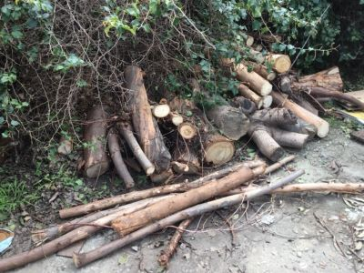Free eucalyptus tree cuttings