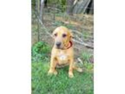 Adopt Andrew a Yellow Labrador Retriever, Black Mouth Cur