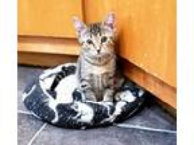 Adopt Juliet a Brown Tabby Domestic Shorthair / Mixed (short coat) cat in