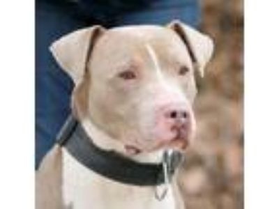 Adopt Sarge a Tan/Yellow/Fawn Pit Bull Terrier dog in Walker, MI (25559812)