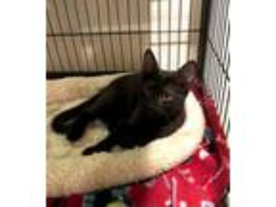 Adopt Bebe a Domestic Short Hair