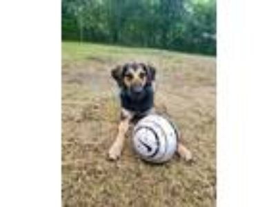 Adopt Allie a German Shepherd Dog / Hound (Unknown Type) / Mixed dog in