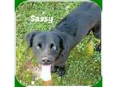 Adopt SASSY a Black Labrador Retriever / Mixed dog in Malvern, AR (23354477)