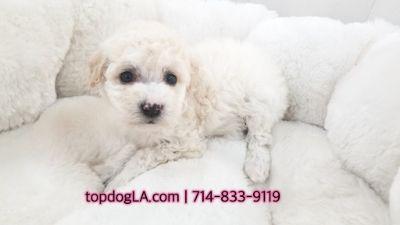 Poodle (Standard)-Maltese Mix PUPPY FOR SALE ADN-70096 - Maltipoo Female Abigail