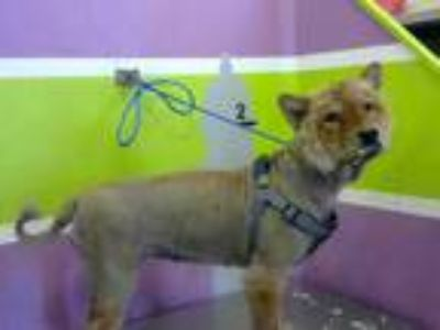 Adopt EMPRESS a Tan/Yellow/Fawn Chow Chow / Mixed dog in Houston, TX (25879442)
