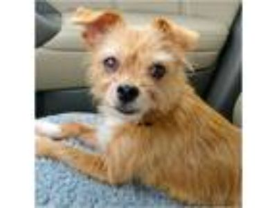 Adopt Jet a Tan/Yellow/Fawn Cairn Terrier / Mixed dog in Tavares, FL (25201641)