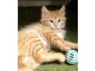 Adopt Betty a Orange or Red Domestic Mediumhair / Domestic Shorthair / Mixed cat