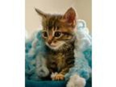 Adopt Jif a Gray, Blue or Silver Tabby Domestic Shorthair / Mixed (short coat)