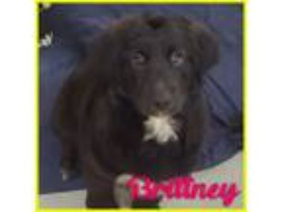 Adopt Brittney a Border Collie, German Shepherd Dog