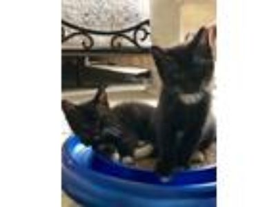 Adopt Jackson & Michael a Domestic Medium Hair, Tuxedo