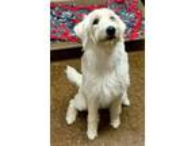 Adopt Princess a White Retriever (Unknown Type) / Labradoodle / Mixed dog in