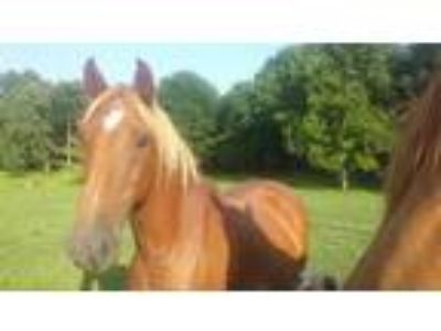 Adopt Checkers a Saddlebred