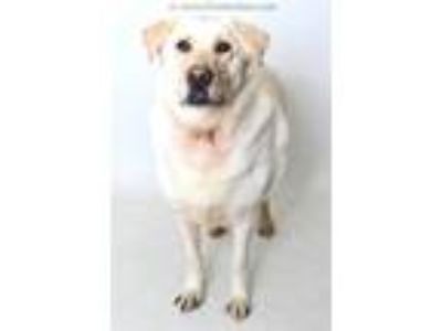 Adopt MEMPHIS a White Labrador Retriever / Husky / Mixed dog in Fruit Heights