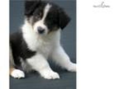 AKC/ASCA black tri-color male Ch Ln