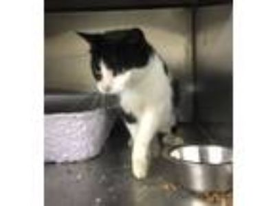 Adopt Lacey a Black & White or Tuxedo Domestic Shorthair (short coat) cat in