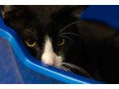 Adopt Hunter a All Black Domestic Shorthair / Domestic Shorthair / Mixed cat in