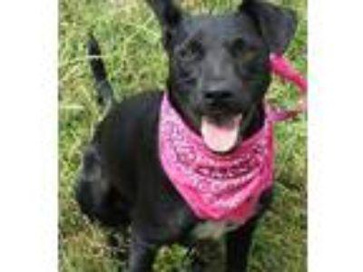 Adopt Annie -adorable baby girl! a Black - with White Labrador Retriever /