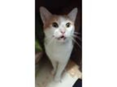 Adopt Jewel a Orange or Red Tabby American Shorthair (short coat) cat in