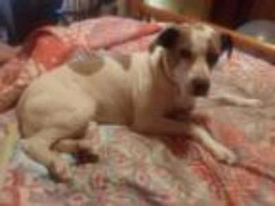 Adopt Rose a White - with Brown or Chocolate American Pit Bull Terrier / Mixed