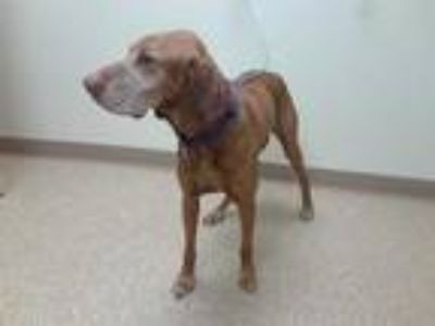 Adopt JASPER a Red/Golden/Orange/Chestnut Vizsla / Mixed dog in Palmer