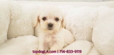 Poodle (Standard)-Maltese Mix PUPPY FOR SALE ADN-74844 - maltipoo female marshmello