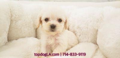 Poodle (Standard)-Maltese Mix PUPPY FOR SALE ADN-74844 - maltipoo female marshmello