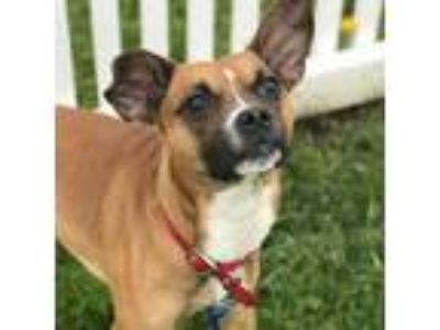 Adopt Otto a Brown/Chocolate Boxer / Mixed dog in Janesville, WI (25286076)