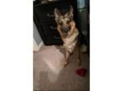 Adopt Marley a Black - with Tan, Yellow or Fawn German Shepherd Dog / Mixed dog
