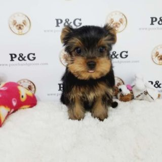 Yorkshire Terrier PUPPY FOR SALE ADN-99748 - YORKSHIRE TERRIER MAX MALE