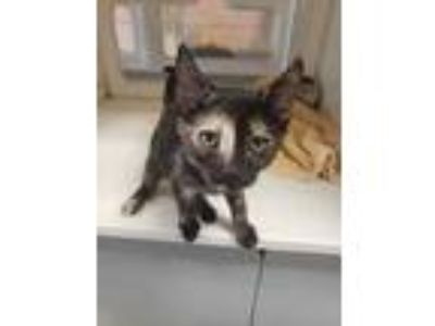 Adopt Olive a Gray or Blue Domestic Shorthair / Domestic Shorthair / Mixed cat